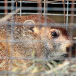 Groundhogs predict 6 more weeks of winter