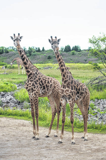 Pictured at the Columbus Zoo and Aquarium are 8-year-old Zuri and 6-year-old Cami. The female giraffes are both expectant mothers, zoo officials announced June 21.