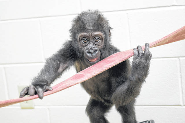 Pictured is the Columbus Zoo and Aquarium's newest addition — a baby gorilla named Zahra.