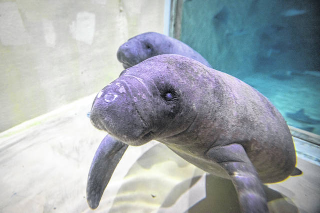Pictured is the soon-to-be named young female manatee calf and a young male calf named Heavy Falcon.