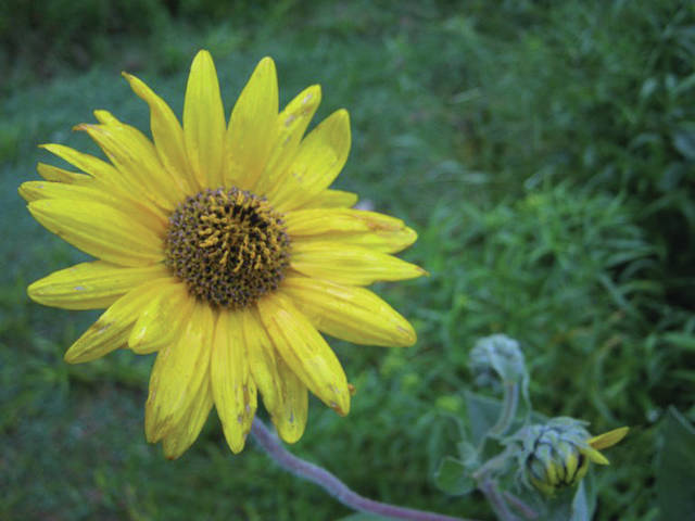 Ashy sunflower at Inniswood.