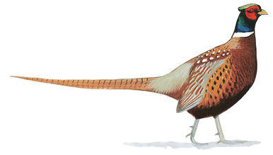 Ring-Neck Pheasant.