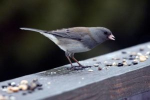 Female birds that used to be silent are now singing like males
