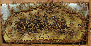 Frame of Bees, Brood, and Honey