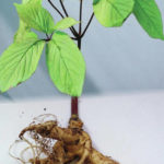Ginseng Hunters Reminded about Upcoming March Deadline