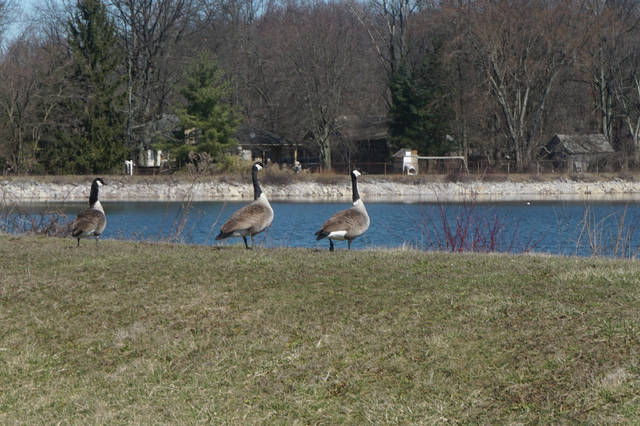 Canadian geese roam around Sunbury's Upground Reservoir #2 in early March.
